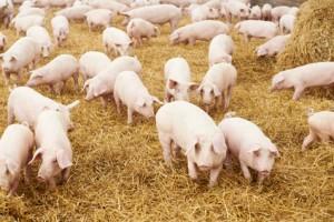 Schweine in der Farm